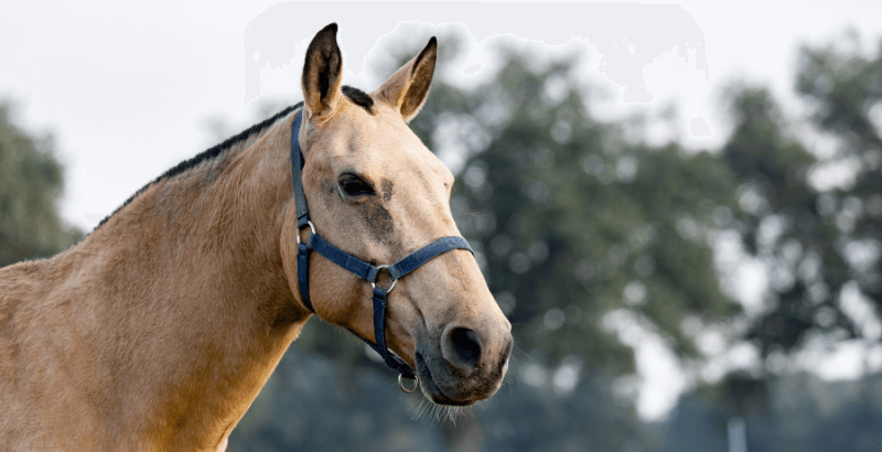 Le cornage chez le cheval