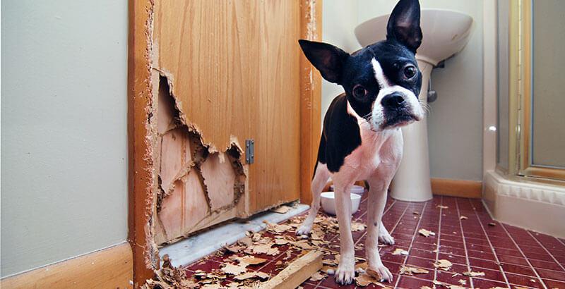 Vrai ou Faux : Mon chien détruit tout quand je ne suis pas là car il se venge