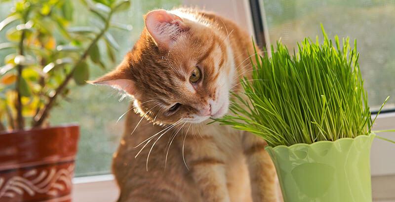 L'herbe à chat « qui excite » : pourquoi en raffolent-ils ?