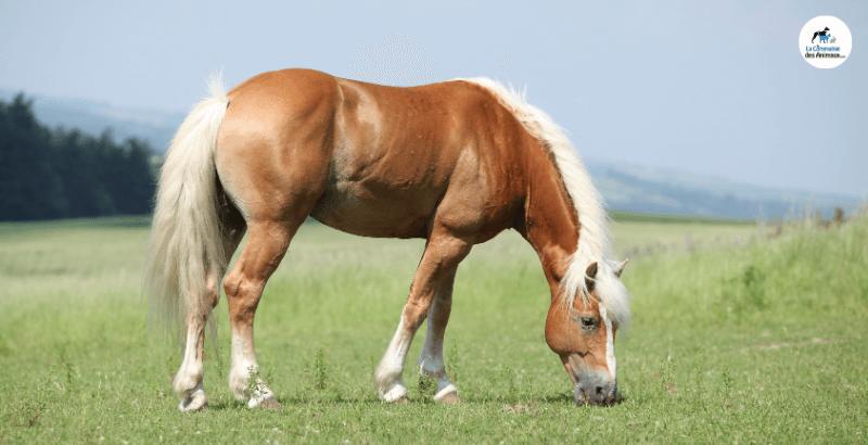 Focus race - Le poney Haflinger