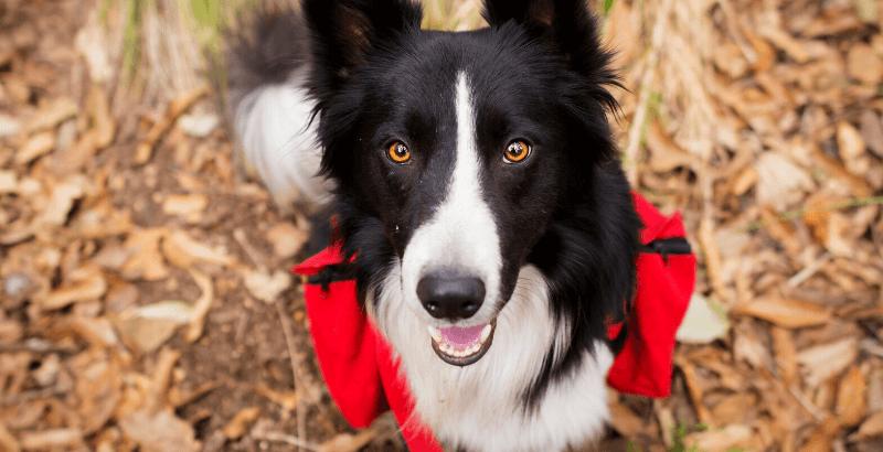 Quiz Scalibor :  Votre chien est-il protégé contre les tiques et leurs maladies ?