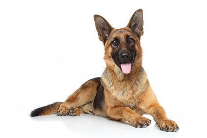 GSD laying down