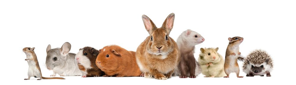 rabbits guineas